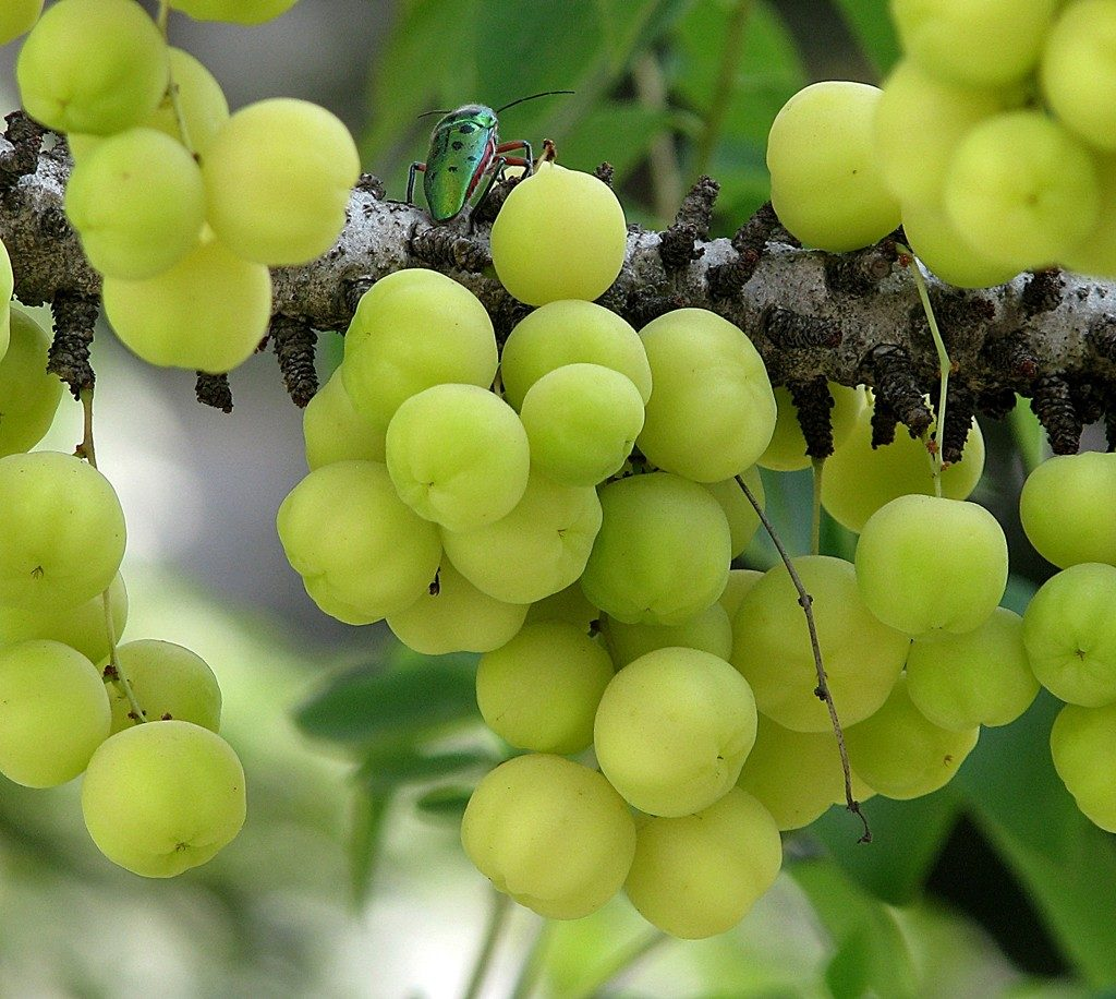 Indian gooseberries found in India and Southeast Asia has lots of health benefits and can help you to cut down sugar